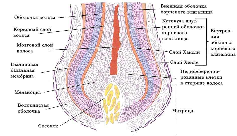 Корень волоса в каком слое